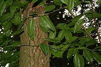 Oxydendron arboreum JPG1.jpg