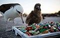 PMNM - Laysan Albatross And Debris (28250723916).jpg