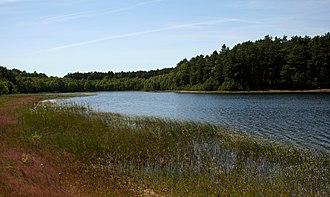 Lobelia dortmanna - Image: PNBT Gacno Wielkie z lobelią jeziorną 03.07.10 p