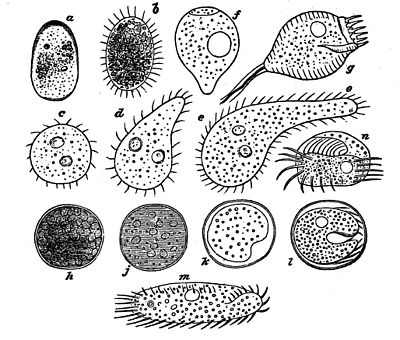 PSM V02 D102 Ciliated infusoria.jpg