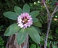 Pacific Rhododendron.jpg