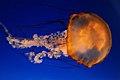 Pacific Sea Nettle Jellyfish (60277166).jpeg