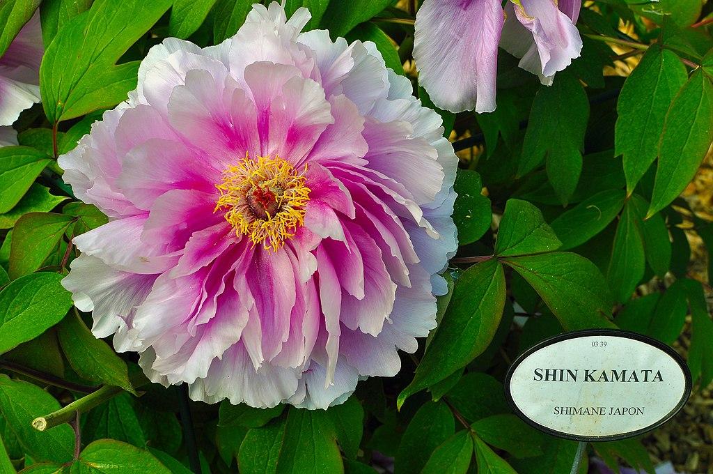 file paeonia suffruticosa 39 shin kamata 39 in the jardin de. Black Bedroom Furniture Sets. Home Design Ideas
