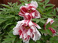 Paeonia suffruticosa 'Shimanishiki'.jpg