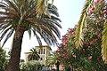Palma delle Canarie e Palma da datteri.jpg