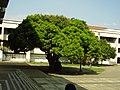 Palo de mango.jpg