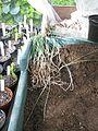 Pancratium maritimum seedlings - Flickr - peganum (1).jpg