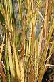 Panicum virgatum Northwind 6zz.jpg