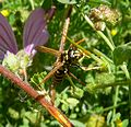 Paper Wasp - Flickr - gailhampshire.jpg
