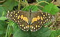 Papilio demoleus – Lime Swallowtail - Lime butterfly from Peravoor 04.jpg