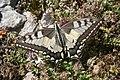 Papilio machaon, Remoray - img 13908.jpg