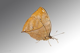 Nymphalinae Subfamily of butterfly family Nymphalidae