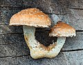 Pappel-Schüppling (Hemipholiota populnea)-20201204-RM-155551.jpg
