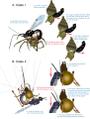 Parasite170127-fig3 ovipositor Pimplinae.png
