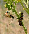 Parasitoid wasp pointing ovipositor at cinnabar moth larva.jpg