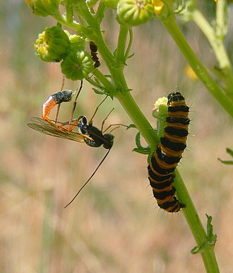 Parasitoid wasp - Parasitoid wasp (Ichneumonidae) pointing ovipositor at cinnabar moth larva, just after ovipositing. The larva wriggles vigorously to try to avoid the attack.
