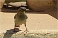 Passer domesticus at Tunis village Fayoum by Hatem Moushir 2.JPG