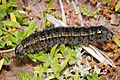 Pasture day moth caterpillar02.jpg