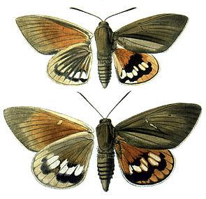 Paysandisia archon, oben Männchen, unten Weibchen, links Unterseiten, rechts Oberseiten