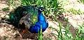 Peacock (4500629095).jpg