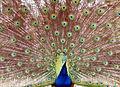 Peacock (7042434165).jpg