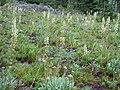 Pedicularis racemosa (5373275754).jpg