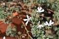 Pelargonium abrotanifolium 0zz.jpg