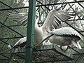 Pelican from Bannerghatta National Park 8587.JPG