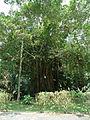 Penang Botanic Gardens (23).JPG
