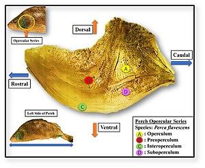 Operculum (fish) - Image: Perch Operculum Image