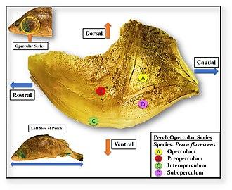 Operculum (fish) - The operculum of a European perch