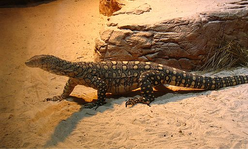 Perentie at Sydney Wildlife World