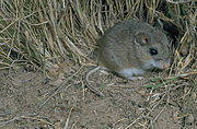 Peromyscus polionotus oldfield mouse.jpg