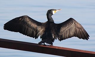 Kormorán veľký (lat. Phalacrocorax carbo) - suší si perie