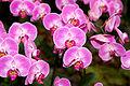 Phalaenopsis Sogo Beach Niep - Internationale Orchideen- und Tillandsienschau Blumengärten Hirschstetten 2016 b.jpg