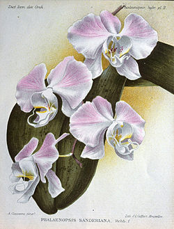 Phalaenopsis sanderiana  ботанічна ілюстрація з Dictionnaire Iconographique des Orchidees, Alfred Cogniaux, Alphonse Goossens. 1896