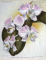 Phalaenopsis sanderiana 1.jpg