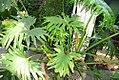 Philodendron bipinnatifidum 5zz.jpg