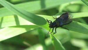 File:Philonthus laminatus.ogv
