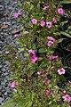 Phlox paniculata Magic Blue 5zz.jpg