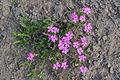 Phlox subulata in Botanical garden, Minsk 49.jpg