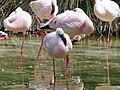 Phoenicopterus minor - flamingo - flamant - 02.jpg