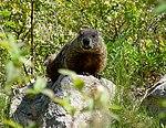Photo of the Week - Woodchuck (RI) (7929621628).jpg