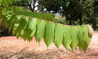Phyllanthus acidus - Leaves
