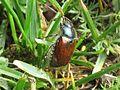 Phyllopertha horticola (Scarab beetle sp.), Nijmegen, the Netherlands.JPG