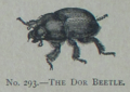 Picture Natural History - No 293 - The Dor Beetle.png