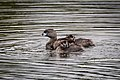Pied-billed Grebe and chicks (17252866639).jpg