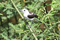 Pied Water Tyrant (Fluvicola pica) (8079750638).jpg