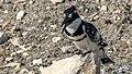 Pied kingfisher (Ceryle rudis) 5.jpg