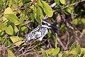 Pied kingfisher (Ceryle rudis rudis) female.jpg